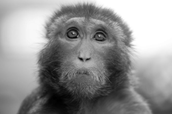 Ben Thornley Photography – Monkey B&W